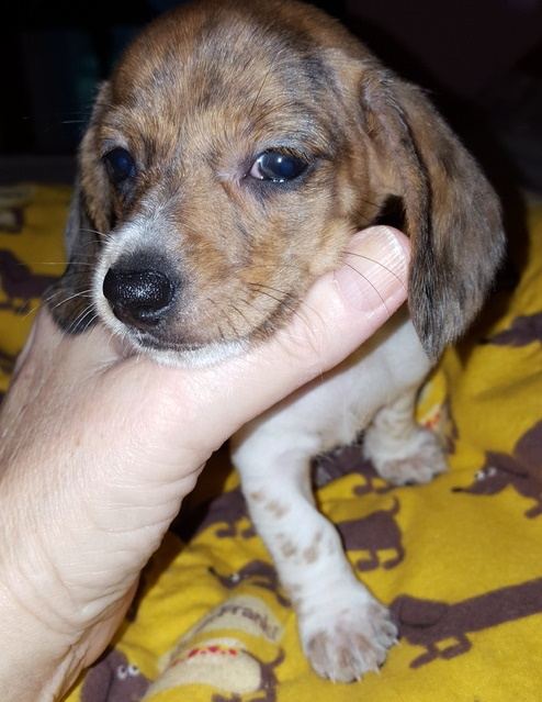 Mini Dachshund Puppies for sale...;646.504.8677