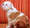 English Bulldog Puppies Excellent Quality